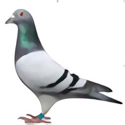 甘肅信鴿網手機版